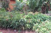 Seedling nursery funded by DfID for the women and climate change project, Brong Ahafo