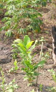 Cashew nut tree seedlings interplanted with cassava