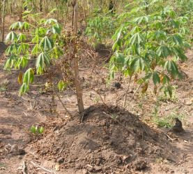 Cassava interplanted with yam