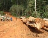 Cut trees ready for transporting out of the forest