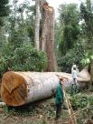 Cut tree in the forest