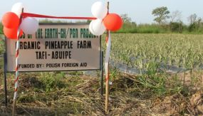 Organic pineapple farm for women farmers, Tafi Abuipe