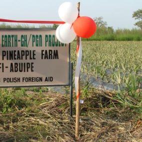 Organic pineapple farm for women farmers, Tafi Abuipe
