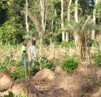 Cutting the forest to make way for yam farming